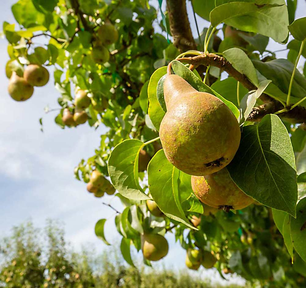 WSU Extension announces pear study circles to improve profitability and sustainability