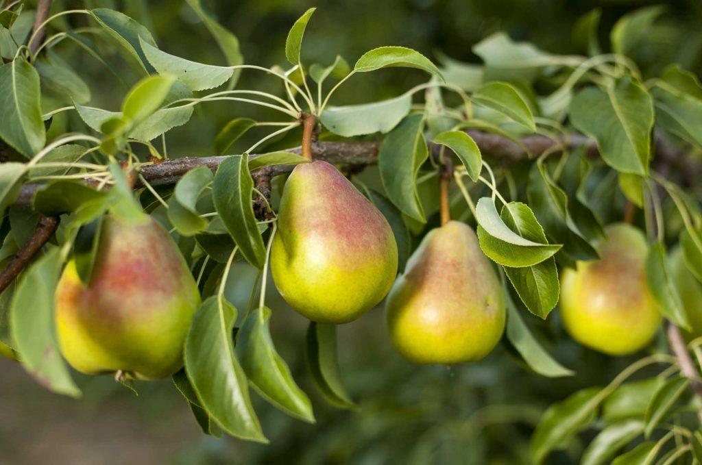 Gem reaches Year 3 | Good Fruit Grower