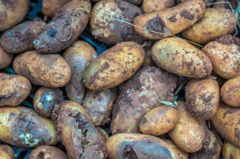How to prevent potato blight