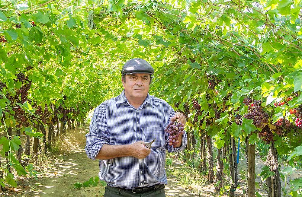 Table grape settings | Good Fruit Grower