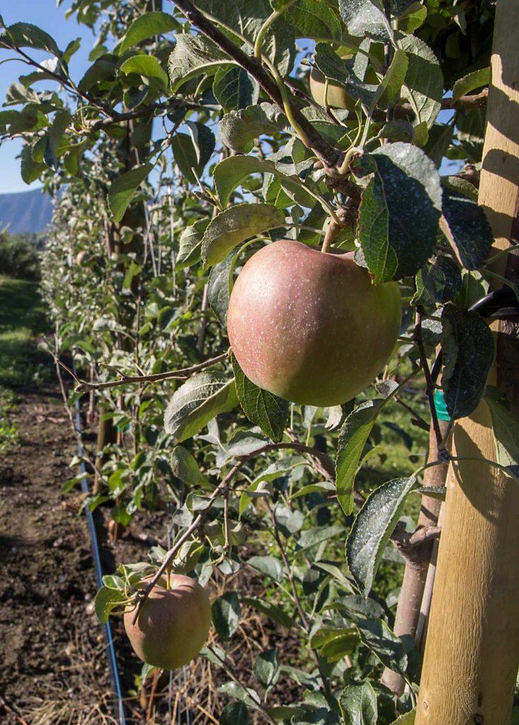 WA 38 preharvest field days scheduled Sept. 17 and 22
