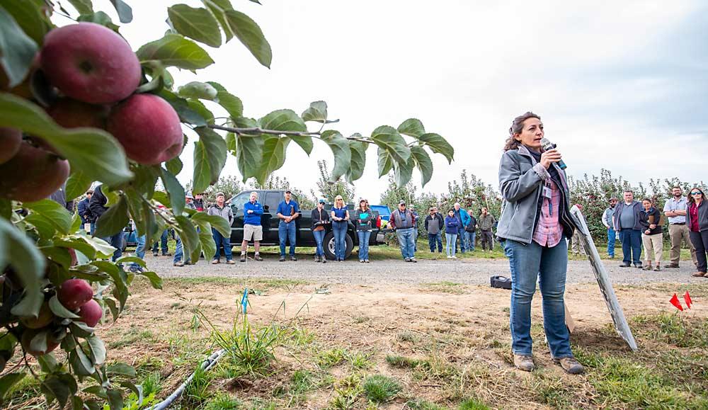 WSU leads Cosmic Crisp field days as harvest approaches